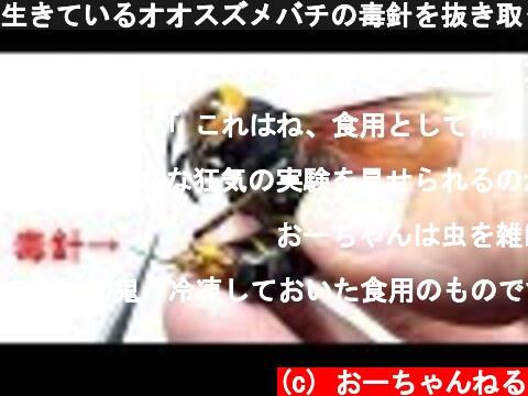 生きているオオスズメバチの毒針を抜き取ったらどうなるの?  (c) おーちゃんねる