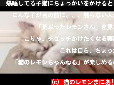 🍋爆睡してる子猫にちょっかいをかけるとこうなります  (c) 猫のレモンまにあ!