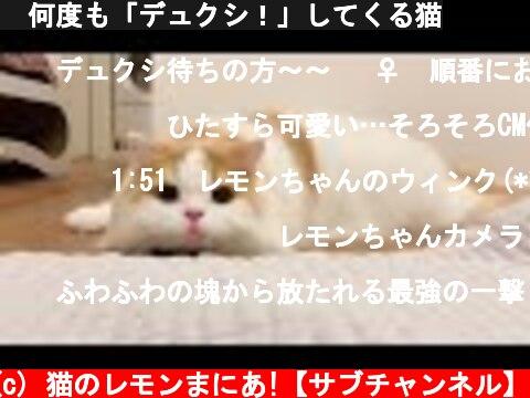🍋何度も「デュクシ!」してくる猫  (c) 猫のレモンまにあ!【サブチャンネル】