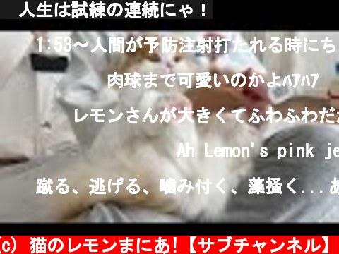 🍋人生は試練の連続にゃ!  (c) 猫のレモンまにあ!【サブチャンネル】