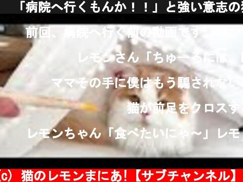 🍋「病院へ行くもんか!!」と強い意志の猫w  (c) 猫のレモンまにあ!【サブチャンネル】