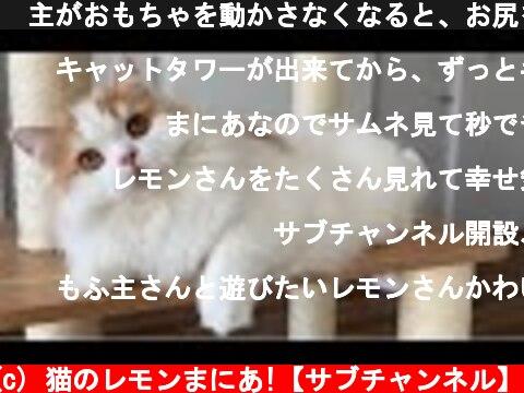 🍋主がおもちゃを動かさなくなると、お尻を向けて急に態度が変わる猫  (c) 猫のレモンまにあ!【サブチャンネル】