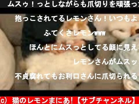 🍋ムスゥ!っとしながらも爪切りを頑張った猫  (c) 猫のレモンまにあ!【サブチャンネル】