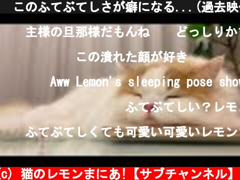 🍋このふてぶてしさが癖になる...(過去映像ロングver)  (c) 猫のレモンまにあ!【サブチャンネル】