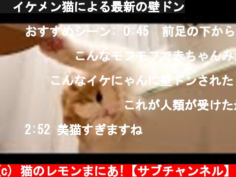 🍋イケメン猫による最新の壁ドン  (c) 猫のレモンまにあ!【サブチャンネル】