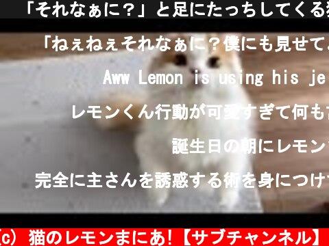 🍋「それなぁに?」と足にたっちしてくる猫が可愛い  (c) 猫のレモンまにあ!【サブチャンネル】