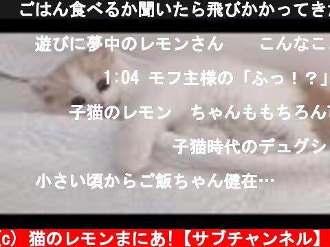 🍋ごはん食べるか聞いたら飛びかかってきた子猫w  (c) 猫のレモンまにあ!【サブチャンネル】