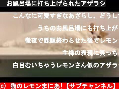 🍋お風呂場に打ち上げられたアザラシ  (c) 猫のレモンまにあ!【サブチャンネル】