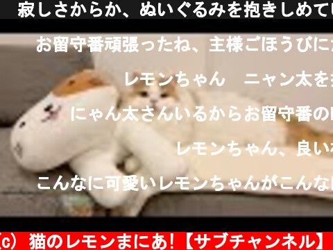 🍋寂しさからか、ぬいぐるみを抱きしめていた猫【お留守番後】  (c) 猫のレモンまにあ!【サブチャンネル】