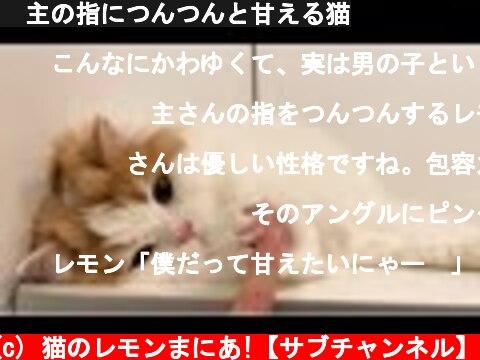🍋主の指につんつんと甘える猫  (c) 猫のレモンまにあ!【サブチャンネル】