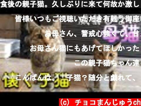 食後の親子猫。久しぶりに来て何故か激しく懐く子猫。Nostalgic stray cat kittenおやつを貰えず全くやる気が起きない母猫。  (c) チョコまんじゅうch