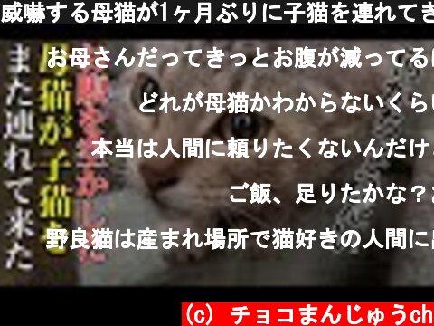 威嚇する母猫が1ヶ月ぶりに子猫を連れてきた Hungry stray cat attacks the dog【子猫保護】【保護猫】【子猫】【地域猫】【感動猫動画】【吃播】  (c) チョコまんじゅうch