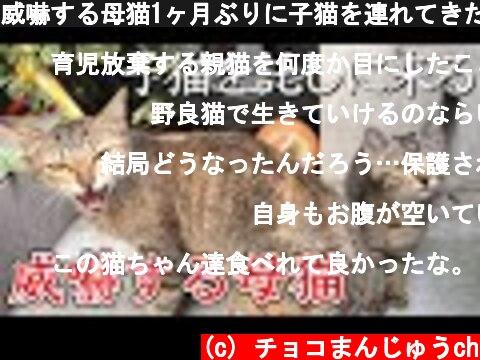 威嚇する母猫1ヶ月ぶりに子猫を連れてきた。威嚇9回猫パンチ3回 Hungry stray cat attacks the dog 【再アップ】【子猫保護】【保護猫】【子猫】【地域猫】  (c) チョコまんじゅうch