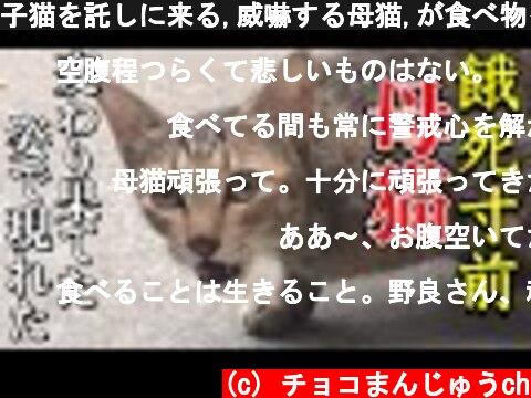 子猫を託しに来る,威嚇する母猫,が食べ物を求めに来た!子猫は連れて来ずに…Stray cat on the verge of starvation感動猫動画【吃播】Cement DIY ldeas  (c) チョコまんじゅうch