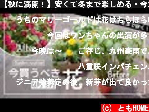 【秋に満開!】安くて冬まで楽しめる・今オススメの花苗を紹介【夏の切り戻し】  (c) ともHOME