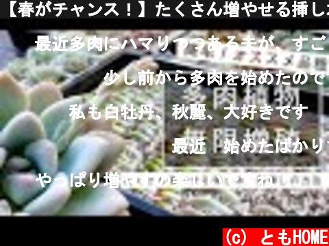 【春がチャンス!】たくさん増やせる挿し木、葉挿しの方法【多肉植物】  (c) ともHOME
