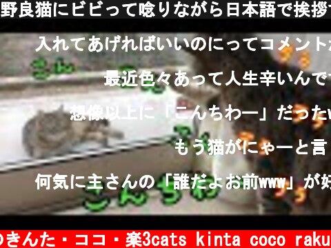 野良猫にビビって唸りながら日本語で挨拶する猫がかわいい!【しゃべる猫】  (c) 猫のきんた・ココ・楽3cats kinta coco raku
