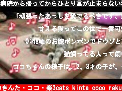 病院から帰ってからひとり言が止まらない猫がかわいい【鳴き声】  (c) 猫のきんた・ココ・楽3cats kinta coco raku