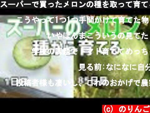 スーパーで買ったメロンの種を取って育てる(メロンの育て方)  /  How to growing melon from store bought melon to harvest  (c) のりんご