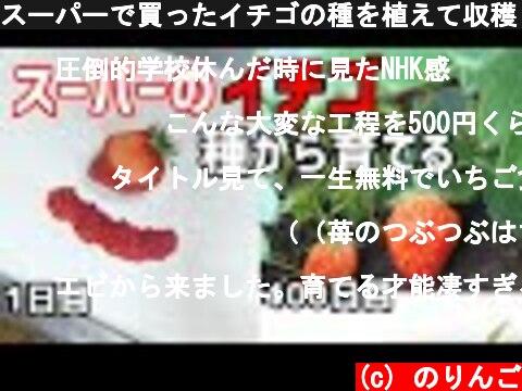 スーパーのイチゴから種を植えて育てて収穫(おすすめ動画)