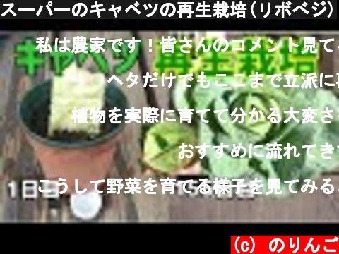 スーパーのキャベツの再生栽培-育て方-(おすすめ動画)