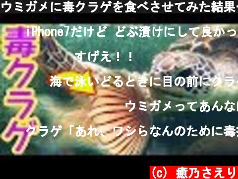 ウミガメに毒クラゲを食べさせてみた結果…!  (c) 癒乃さえり