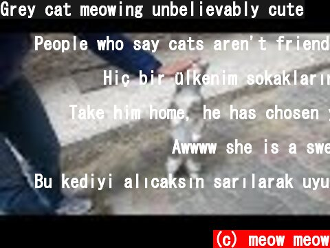 Grey cat meowing unbelievably cute  (c) meow meow