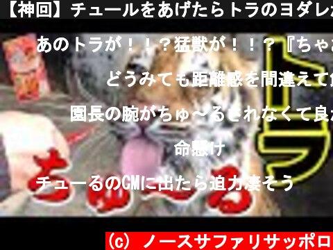 【神回】チュールをあげたらトラのヨダレが止まらない😻www Validated by tiger!  (c) ノースサファリサッポロ
