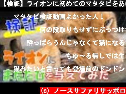 【検証】ライオンに初めてのマタタビをあげたらまさかの展開に!?Lion likes Matatabi !?  (c) ノースサファリサッポロ