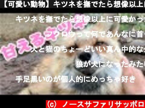【可愛い動物】キツネを撫でたら想像以上に可愛かった!Cute fox graces  (c) ノースサファリサッポロ