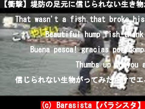 【衝撃】堤防の足元に信じられない生き物が!?Asian sheepshead wrasse fishing  (c) Barasista【バラシスタ】