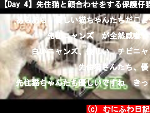 【Day 4】先住猫と顔合わせをする保護仔猫。果たしてその結果は。。First meeting with native cats.  (c) むにふわ日記
