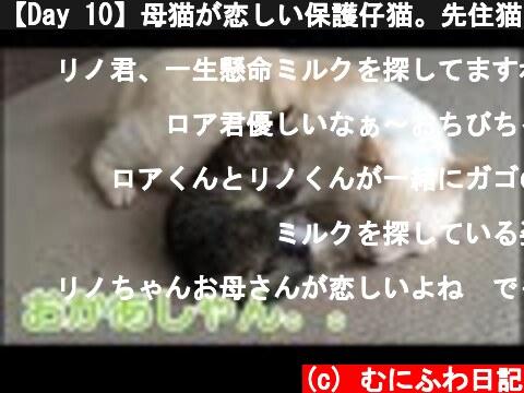 【Day 10】母猫が恋しい保護仔猫。先住猫にミルクを求めた結果。。。  (c) むにふわ日記