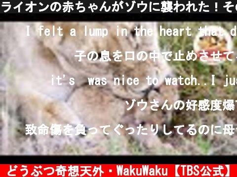 ライオンの赤ちゃんがゾウに襲われた!そのとき母親は我が子を…その悲しい理由とは?(ライオンの壮絶子育て:前編)【どうぶつ奇想天外/WAKUWAKU】  (c) どうぶつ奇想天外・WakuWaku【TBS公式】