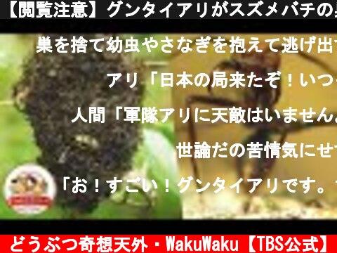 """【閲覧注意】グンタイアリがスズメバチの巣を襲う!ジャングル最強の""""黒い怪物""""とは【どうぶつ奇想天外/WAKUWAKU】  (c) どうぶつ奇想天外・WakuWaku【TBS公式】"""