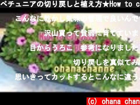 ペチュニアの切り戻しと植え方★How to cut back and plant Petunia!  (c) ohana chan