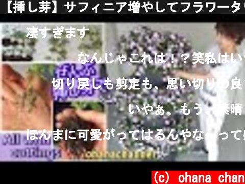 【挿し芽】サフィニア増やしてフラワータワーを作ってみる♪🌱Propagating all Petunia (Surfinia) from Cuttings❢  (c) ohana chan