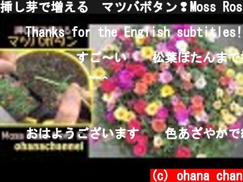 挿し芽で増える🌱マツバボタン❢Moss Rose from Cuttings🌱  (c) ohana chan