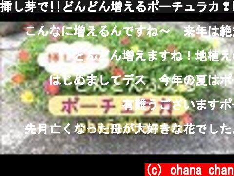 挿し芽で!!どんどん増えるポーチュラカ❢How to Grow and propagate by Cutting Portulaca!  (c) ohana chan