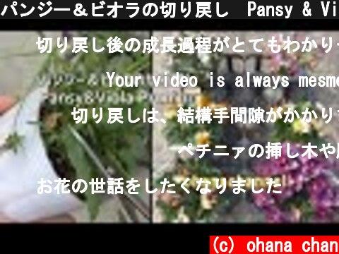 パンジー&ビオラの切り戻し🌺Pansy & Viola Pruning to full bloom  (c) ohana chan
