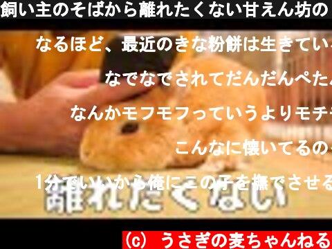 飼い主のそばから離れたくない甘えん坊のうさぎ【No.178】  (c) うさぎの麦ちゃんねる