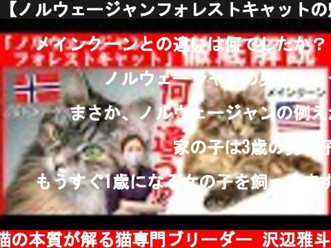 【ノルウェージャンフォレストキャットの魅力】神話にも登場する神秘的な猫!メインクーンやサイベリアンとの違いもご紹介!猫種紹介コーナー#2  (c) 【猫好き必見】猫の本質が解る猫専門ブリーダー 沢辺雅斗