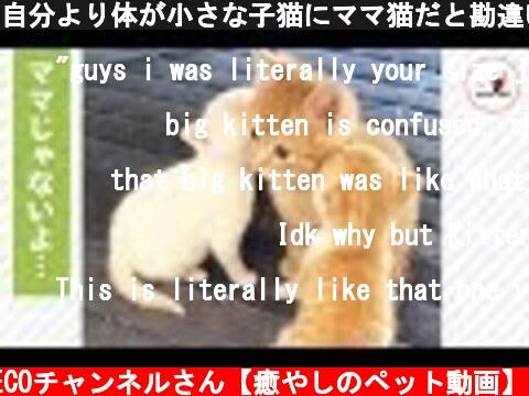 自分より体が小さな子猫にママ猫だと勘違いされて…😅 戸惑う猫さんが面白い💕【PECO TV】  (c) PECOチャンネルさん【癒やしのペット動画】