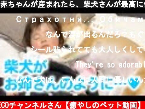 赤ちゃんが産まれたら、柴犬さんが最高に優しい「お姉さん」になった!  (c) PECOチャンネルさん【癒やしのペット動画】