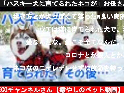 「ハスキー犬に育てられたネコが」お母さんになりました。  (c) PECOチャンネルさん【癒やしのペット動画】