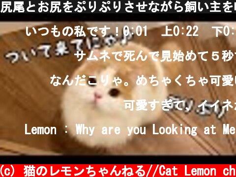 尻尾とお尻をぷりぷりさせながら飼い主を呼ぶ猫が可愛い!  (c) 猫のレモンちゃんねる//Cat Lemon ch