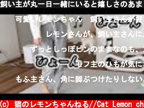 飼い主が丸一日一緒にいると嬉しさのあまりこうなった!  (c) 猫のレモンちゃんねる//Cat Lemon ch