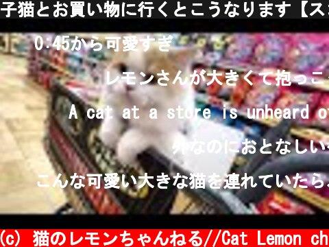 子猫とお買い物に行くとこうなります【スコティッシュフォールド】  (c) 猫のレモンちゃんねる//Cat Lemon ch