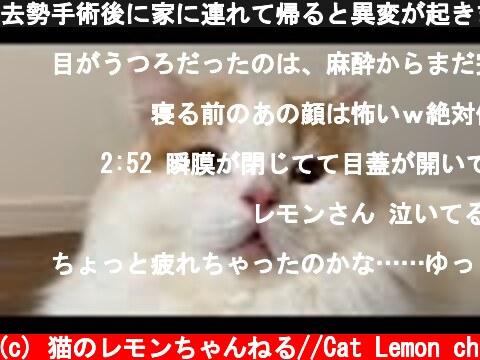 去勢手術後に家に連れて帰ると異変が起きました  (c) 猫のレモンちゃんねる//Cat Lemon ch