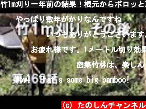 竹1m刈り一年前の結果!根元からボロッと取れる快感 柿の木の後始末 1m刈り11月続き  (c) たのしんチャンネル